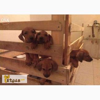 Продам щенков родезийского риджбека