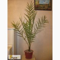 Пальма финиковая 1, 4метра