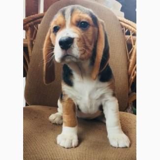 Продам щенков породы Бигль