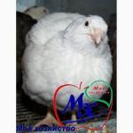 Инкубационные яйца перепелов породы Техасский белый.