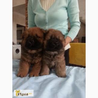 Продаются щенки от чемпиона Украины