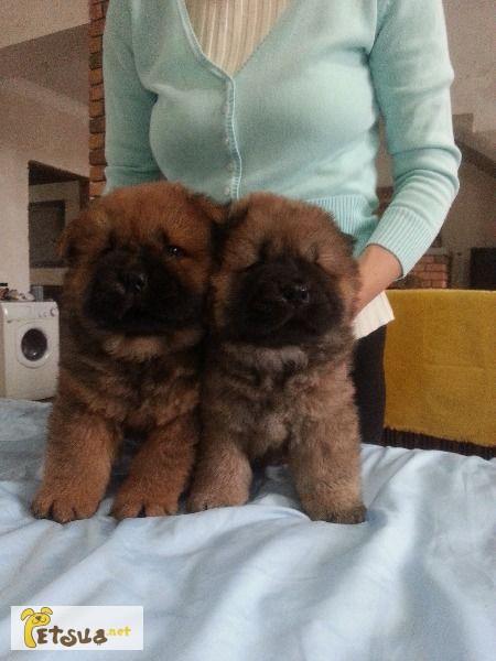 Фото 1/1. Продаются щенки от чемпиона Украины