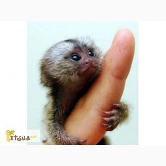 Ручные обезьянки Карликовая игрунка
