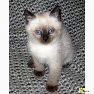 Котёнок невской маскарадной