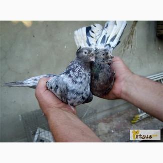 Продам голубей Вертунов