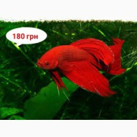 Сиамские Бойцовские рыбки – Петушки (Betta splendens). Доставка до любого метро в Киеве