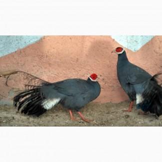 Ушастые Синие фазаны