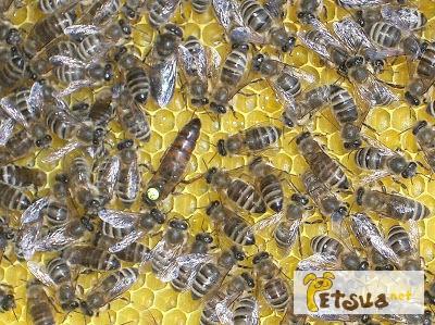 Фото 1/1. Пчелопакеты Украинская степная