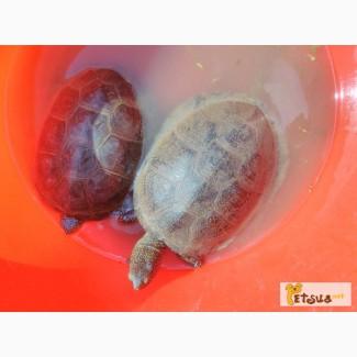 Продам - Европейских болотных черепах