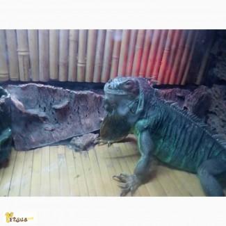 Продам недорого игуану (девочка)