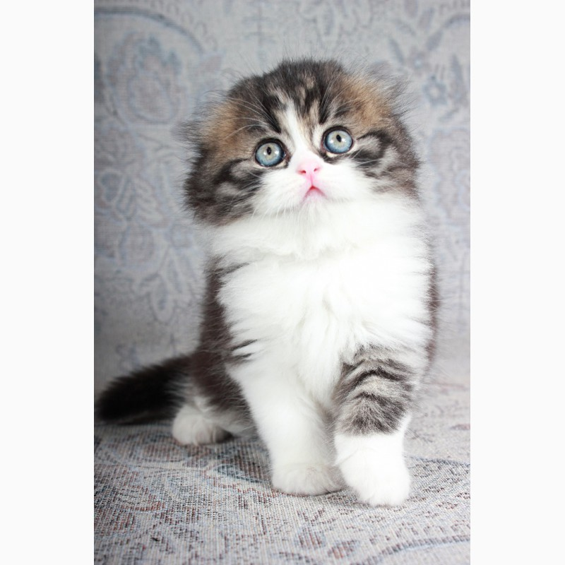 Фото 1/4. Шотландские вислоухие котята из питомника