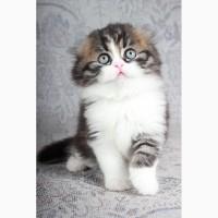 Шотландские вислоухие котята из питомника