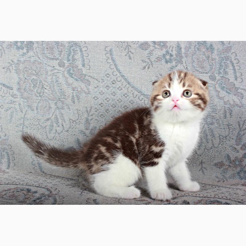 Фото 2/4. Шотландские вислоухие котята из питомника