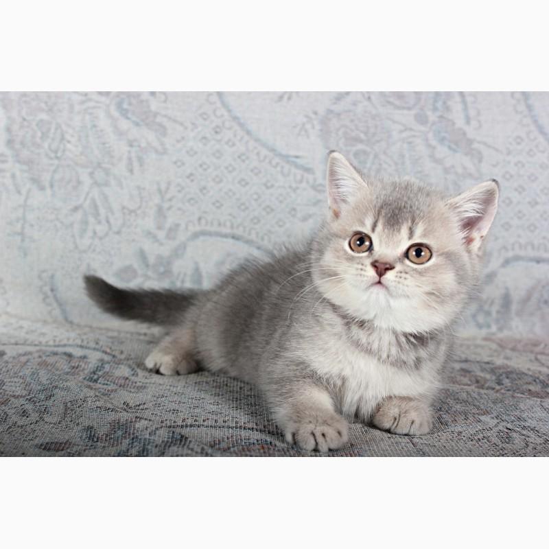 Фото 3/4. Шотландские вислоухие котята из питомника