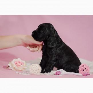 Английский кокер спаниель щенки