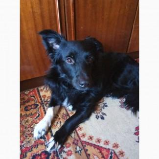 Продам щенка Бордер Колли