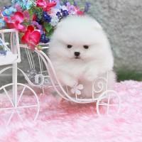 Элитные щенки Померанский Щпиц