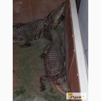 Крокодил нильский