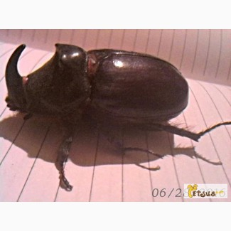 Продам жука носорога