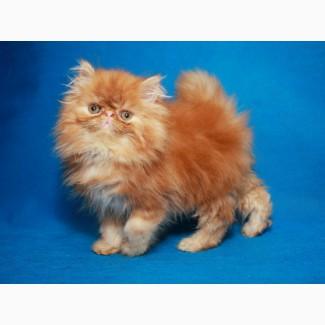 Харизматичный перс, котенок-мальчик