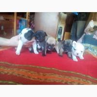 Продам щенков французского бульдога в Чернигове