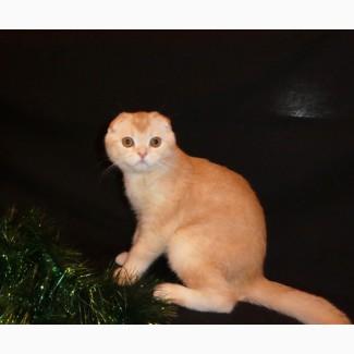 Рыжий тикированный шотландский вислоухий котенок по кличке Оскар, окрас ds 25
