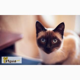 Тайская кошка ищет достойного кота для вязки!
