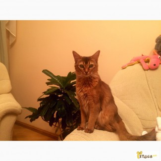 Нужен сомалийский кот для вязки