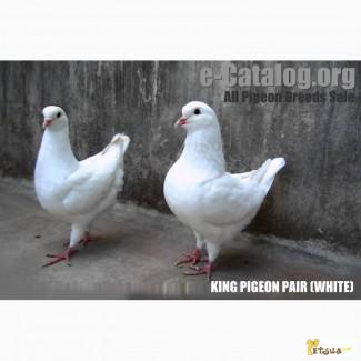 Куплю голубей мясной породы КИНГ