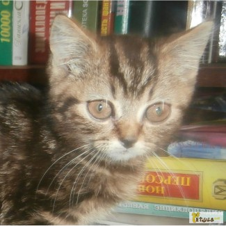 Кот скоттиш-страйт черный мраморный
