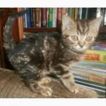 Кот скоттиш-страйт черный мраморный и другие - в добрые руки