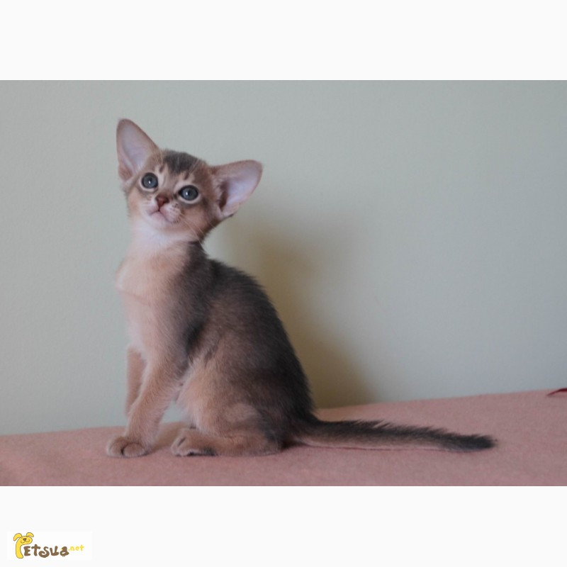 Абиссинские котята всех окрасов