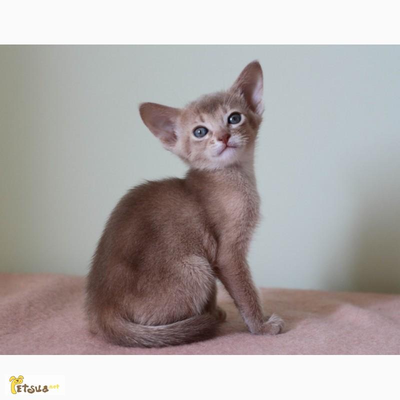Фото 2. Абиссинские котята всех окрасов