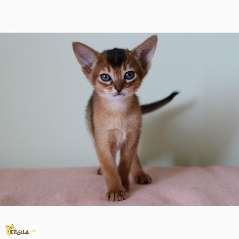 Фото 3. Абиссинские котята всех окрасов