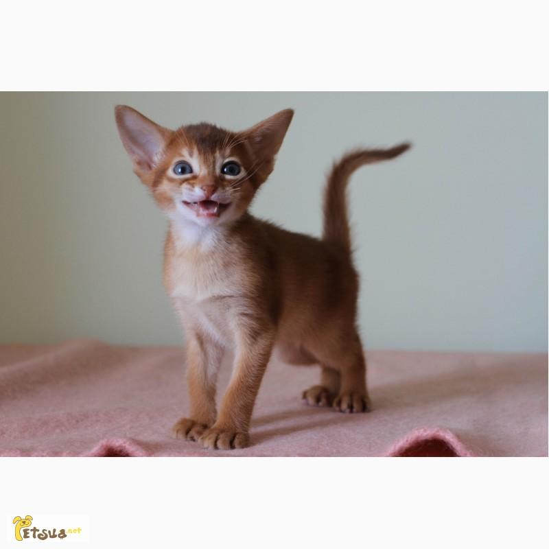 Фото 4. Абиссинские котята всех окрасов
