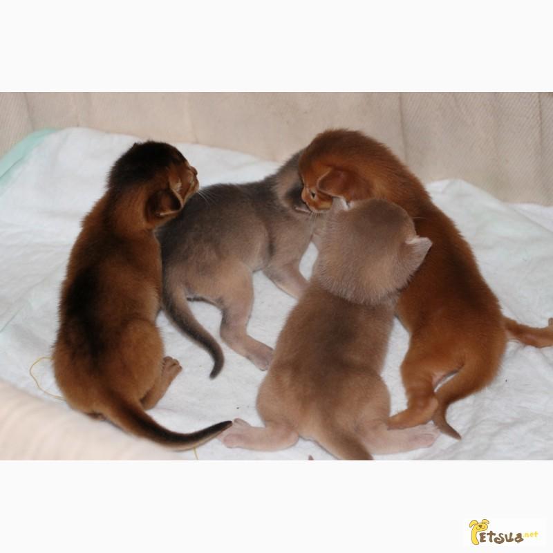 Фото 5. Абиссинские котята всех окрасов