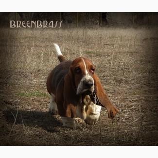 Бассет-хаунд щенки