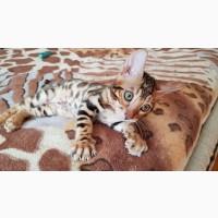 Купить бенгальского кота в Киеве