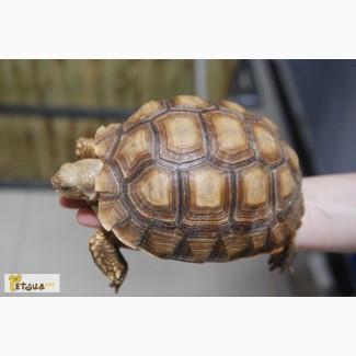 Шпороносная гигантская черепаха