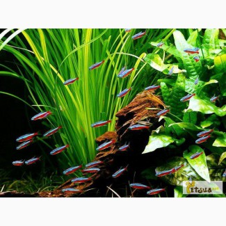 Аквариумное растение валлиснерия