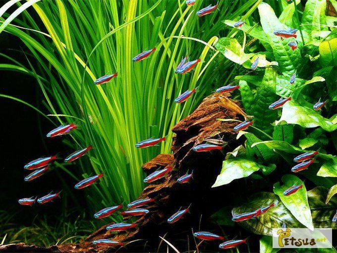 Фото 1/1. Аквариумное растение валлиснерия