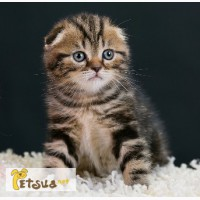 Золотой по характеру котенок скоттиш фолд мраморного окраса, чистокровный, клубный мурчун