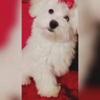 МАЛЬТЕЗОЧКА-МИНИ!Девочка 3 месяца -Белоснежная Принцесса