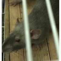 Отдается крыса в опытные руки
