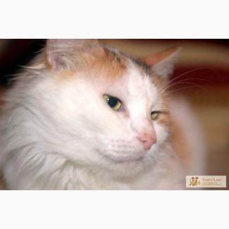 Рене ван Кидиси, бело-рыжая, стерилизованная кошка.