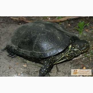 Европейская болотная черепаха!!!