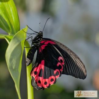 Бабочки - сухой материал Papilio rumanzovia, Papilio thoas, Caligo memnon