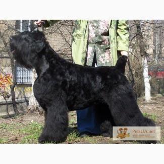 Крупные, породные щенки черного терьера.
