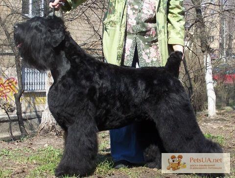 Фото 1/1. Крупные, породные щенки черного терьера.