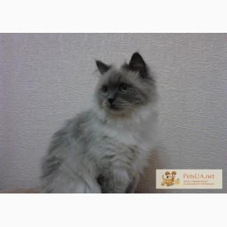 Бирманская кошка, 1,5 года , стерилизована